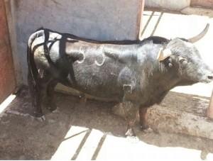 `Tiburoncito', nuevo semental de Saboya tras ser lidiado por el diestro navarro.