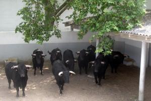Los toros de El Capea en uno de los corrales de la plaza pamplonesa.