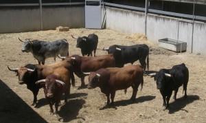 Los ocho toros de Cebada Gago en un corral del Gas.