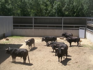 Los toros de Dolores Aguirre en su nuevo alojamiento del Gas.