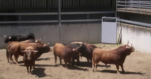 Los ocho toros de Alcurrucén.