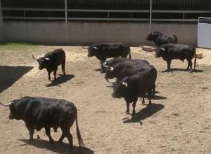 Los toros de la fallecida ganadera vasca en un corral delGAs.