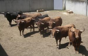 Los ocho toros de Alcurrucén que han llegado a Pamplona.