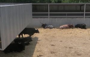 Los seis toros, ayer al mediodía, en el Gas.