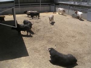Los siete toros de Fuente Ymbro.