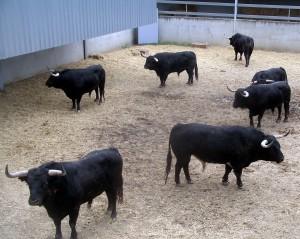 Los siete toros de Victoriano del Río en un corral del Gas.