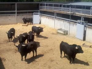 Los siete toros en uno de los corrales.