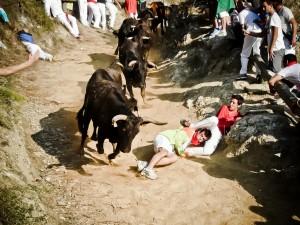 Las vacas han galopado agrupadas. Fotografía: Carlos Olite.