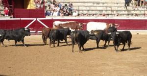 Los toros de Cebada Gago en el ruedo tafallés. Fotografía: Javier Manero.