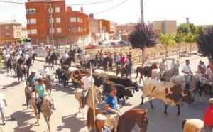 Entrada de las vacas en Mendavia por el Río Mayor. Fotografía: Juan Suberviola.