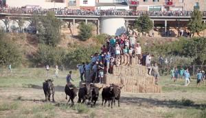 Numeroso público contempla el espectáculo de la traída de las vacas por el río Alhama desde el Paretón, mientras que los más atrevidos ven pasar a los astados subidos a pacas de paja. Fotografía: Nuria G. Landa.