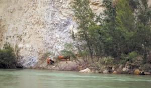 Vacas bravas aisladas en el río Alagón.