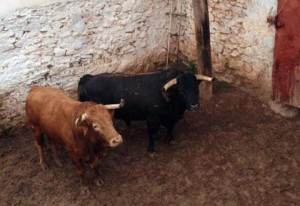 Dos toros de José Luis Pereda en los corrales de Ajalvir.