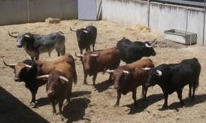 Los ocho primeros toros que trajo Cebada Gago en un corral del Gas.