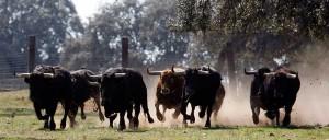 Toros de Sánchez Ibarqüen galopando en el campo. Fotografía: Aplausos.es