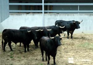 Cinco toros