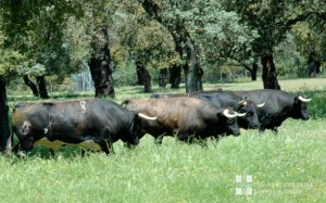 Cuatro toros de Dolores Aguirre reseñados para Pamplona.