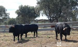 Toros de Garcigrande resñados para Pamplona.