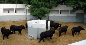 Los toros salmantinos de Pedro Gutiérrez Moya en un corral de la plaza de Pamplona. Fotografía: Casa de Misericordia de Pamplona.
