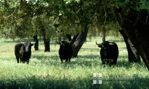 Tres toros. Meca
