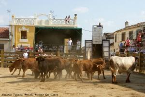 Desencajonamineto de vacas de Merino-Garde hace unos días en Mélida. Fotografía: Navarra Taurina.