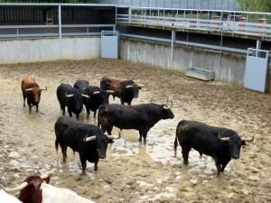 Los siete toros de Jandilla en el Gas.