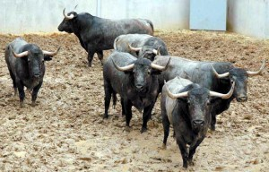 Seis toros de Adolfo Martín. Fotografías: Casa de Misericordia de Pamplona.