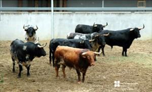 Los siete toros de Torrestrella desembarcados en el Gas. Fotografías: Casa de Misericordia de Pamplona.