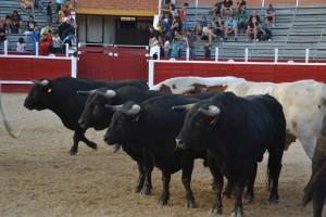 Toros de Castillejo de Huebra desencajonados en Sangüesa hace dos años.