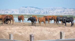 Vacas de Ustárroz con las Bardenas Reales de fondo. Fotografía: Garzaron.
