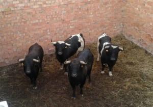 Cuatro toros de Galache en un corral de la plaza de Sangüesa.