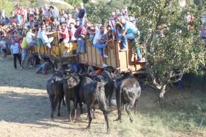 Un mmento de la traída de vacas de ayer, un festejo con tradición en Cincruénigo.