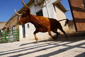 Una suelta de vacas en Artajona.