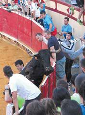 La vaca que hirió a Orlando Gil. Fotografía: Vaquero.