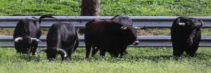 Cinco toros pastando