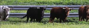 Cuatro toros atentos