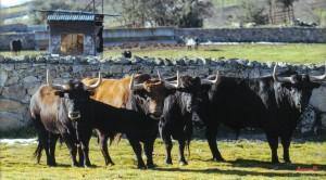 ¿Viajarán estos cuatro toros de Victoriano del Río a Pamplona? Fotografía: Javier Arroyo.