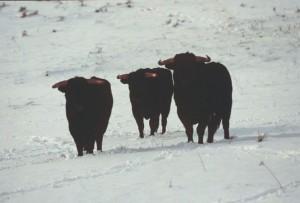 Tres toros de Bañuelos sobre la nieve depositada en La Cabañuela.