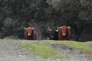 Toros de El Pilar, de la camada de este año.