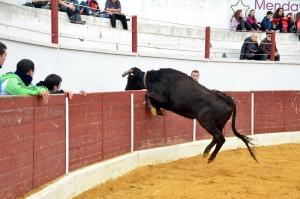 Una de las vacas de El Ruiseñor intentó saltar la barrera. Fotografía: Joseba Carnicer.