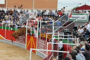 Una vaca inenta saltar la barrera de la nueva plaza de Villafranca. Fotografía: E. M.