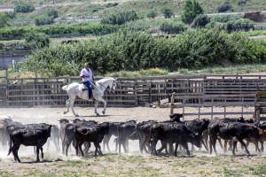 Baigorri condue a caballo la manada de becerras herradas.