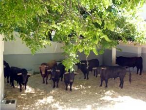 La novillada de El Parralejo en un corral de la plaza de toros.