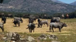 Manada de toros 2