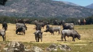 Manada de toros