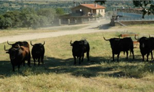Seis toros de Victoriano del Río destinados a Pamplona. Fotografías: Casa de Misericordia de Pamplona.