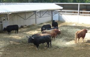 Los ocho toros de Garcigrande en el Gas.
