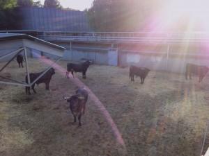 Imagen a contraluz de los toros de MIura en el Gas.