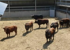 Los siete toros de Fuente Ymbro en un corral del Gas.