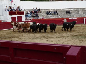 Los toros de Rosa Rodrigues en el ruedo de la plaza de Estella. Fotografía: Aerizalde.
